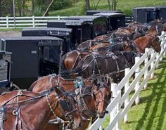 Amish buggies all lined up