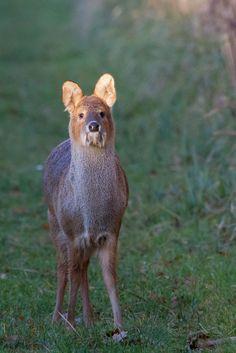 Chinese Water Deer by Matt Lodge