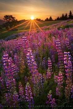 Sunrise on The Lupine Flowers - Coast of Northern California