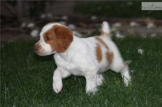 brittany+spaniel+puppies | Brittany Spaniel for sale