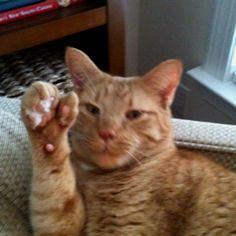 Pumpkin - our polydactyl cat!