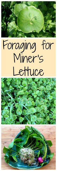 Miner's lettuce is an easy for forage for wild green that is tasty and nutritious!: