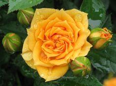 Роза Климентина