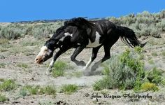 threatening body posture called snaking as a warning to other stallions or to move his heard along -- wild mustang All The Pretty Horses, Most Beautiful Horses, Beautiful Things, Horse Photos, Horse Pictures, Beautiful Creatures, Animals Beautiful, Wilde Mustangs, Majestic Horse