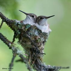 Did you know that the hummingbird nest is the size of a walnut?