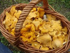 Funghi gallinacci