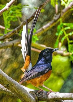 White-Rumped Shama, a bird I saw in Hawaii, on Kauai and O'ahu.