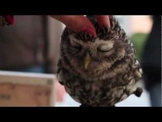 Owlet getting head rubs