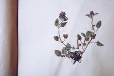 Blad i herbarium - reaktionista.se