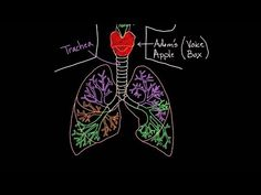 Meet the lungs - YouTube - Khan academy; detalied description of the respiratory system (C3; W10)