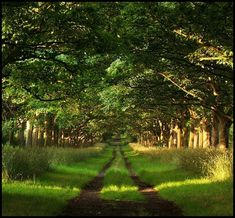 Original drive for Thorton Manor,     Tree Tunnel, Thorton Hough, Great Britain