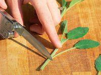 Jak řízkováním snadno namnožit voňavou šalvěj: obrazový návod Korn, Gardening, Lawn And Garden, Horticulture