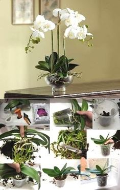 But before you panic, calm down and read this article about Phalaenopsis Orchid Care. I love love love orchids! I've always like orchids but Phalaenopsis Orchid Care, Orchid Plant Care, Orchid Plants, Orchids Garden, Garden Plants, Indoor Plants, Balcony Gardening, Small Garden Uk, Jardiniere Design