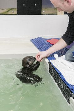Sea otter pup 719 practices receiving and nomming treats - February 19, 2016 - More at today's Daily Otter post: http://dailyotter.org/2016/02/19/sea-otter-pup-719-practices-receiving-and-nomming-treats/