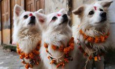 Le Festival Kukur Tihar au Nepal célèbre les Chiens (15)