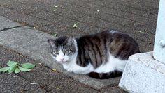 キジトラ白模様の猫(513)猫写真-横浜 #猫写真