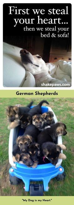 Read information on German Shepherds Just click on the link to read more