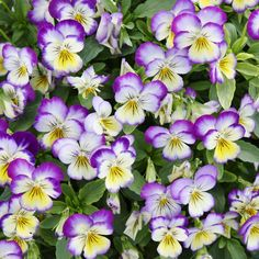 Grow Heirloom Johnny Jump Ups - Plant Johnny Jump Up SeedsA tiny bloom with a big history! Immortalized in art and literature, this common European wildflower is known as Pansy, Violet and Viola as well as Johnny-Jump-Up and has been a favorite of gardeners for generations.