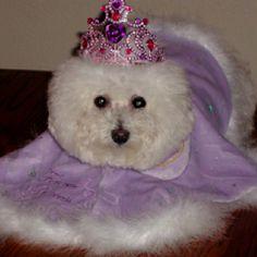 Such a pretty lil' princess Bichon!