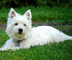 Read about the friendly spirited West Highland White Terrier and discover whether this breed might be the one for you; Breed history, personality, grooming and much more are included. West Terrier, West Highland White Terrier, Best Dogs For Kids, Jiff Pom, Terrier Dog Breeds, Aggressive Dog, Best Dog Breeds, Westies, Dog Friends