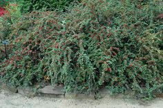 Click to view full-size photo of Cranberry Cotoneaster (Cotoneaster apiculatus) at Gertens