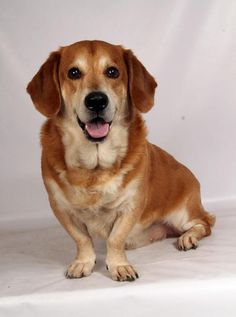 Doug - Basset Hound/Golden Retriever mix - Male - Born : 8/15/2011 - Diana's Grove Dog Rescue - Cabool, MO. - http://www.takeafriendhome.org/adopt.html - https://www.facebook.com/dgdogrescue/ - http://www.adoptapet.com/pet/16427254-st-louis-missouri-basset-hound-mix - https://www.petfinder.com/petdetail/35995629
