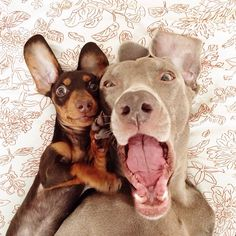 Weimaraner and Dachshund lying down together happy looking into the camera for a dog selfie Big Dogs, I Love Dogs, Cute Dogs, Dogs And Puppies, Doggies, Dachshunds, Dachshund Puppies, Adorable Puppies, Weimaraner