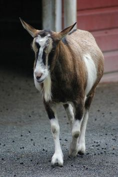 Alpine Goat... great dairy breed.  That's more my speed.  Functional.