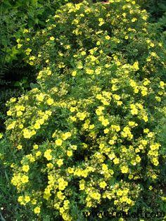Potentilla fruticosa 'Gold Star'