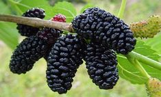 Dwarf Everbearing Mulberry Plant - Morus nigra - Sweet Fruit - Pot >>> Learn more by visiting the image link. Mulberry Plant, Mulberry Fruit, Mulberry Bush, Mulberry Tree, Raspberry Plants, Blackberry Plants, Exotic Fruit, Fruit Garden, Live Plants