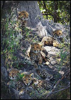 Photo of 5 Cheetah Cubs