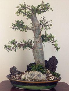 Bonsai copal, bursera microphylla. A succulent plant from México. 50 cm alto. Love the trunk
