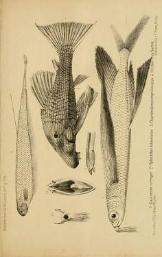 Über eine neue merkwürdige Art von fliegenden Fischen, Exocoetus cirriger, aus China, und einen neuen Muraeniden, Ophichthys bitaeniatus, aus Mombus - BioStor