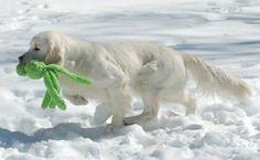 Fiona Golden Retriever Dios Neptuno Golden Retriever, Dogs, Pet Dogs, Doggies