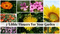 Besides being great food for bees, edible flowers are the perfect way to add beauty to any meal. The Homesteading Hippy