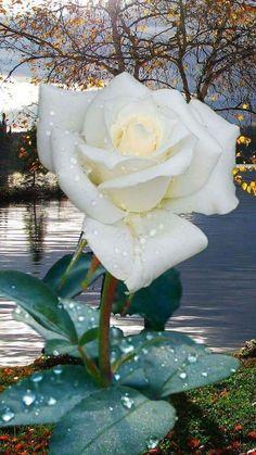 Captivating Why Rose Gardening Is So Addictive Ideas. Stupefying Why Rose Gardening Is So Addictive Ideas. Beautiful Flowers Wallpapers, Beautiful Rose Flowers, Exotic Flowers, My Flower, Pretty Flowers, White Flowers, Red Roses, Rose Images, Rose Pictures