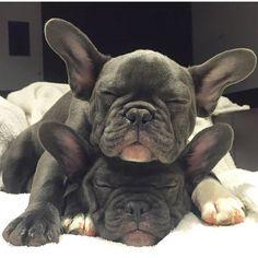 Good morning, French Bulldog Puppies❤