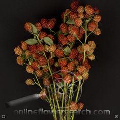 Raspberry Fruit Branches - Cut Flower Wholesale, Inc. -- leading wholesale florist in Atlanta, GA U.S.A.