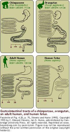 Figure: Gastrointestinal tracts of a chimpanzee, orangutan, an adult human, and human fetus.http://www.beyondveg.com/billings-t/comp-anat/comp-anat-6c.shtml#gut