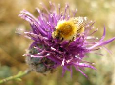 bee on a wild thistle • Valle Maira, Piedmont, Italy • www.invalmaira.it