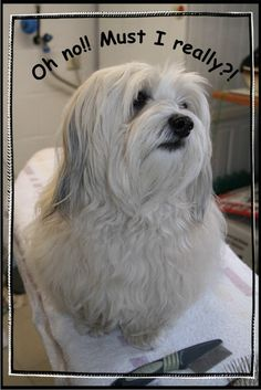 groom havanese | Visit havanesetalk.com LOL! My Havanese thinks the bubble baths at the groomers are too bubbly and too bathy---!