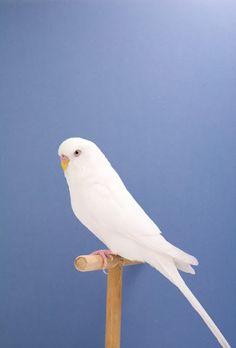 White Budgie~KA