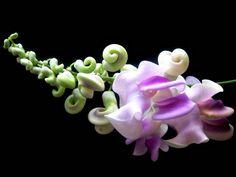 Fragrant Corkscrew Vine Phaseolus caracalla 5 rare seeds | Etsy Free Plants, Orange Blossom, Red Flowers, Houseplants, Perennials, Vines, Seeds, Bloom, Tropical