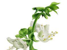 Le perle di Caterina:  Liquore al Basilico   Prendere le foglie del basi...