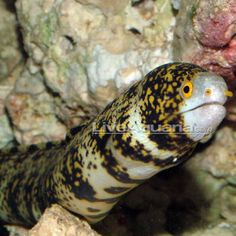 Snowflake Eel - if you're lucky enough to be around in the morning (btwn 9-10 am) you might see him swimming otherwise find him hiding in the rocks