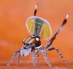 jumping peacock spider...couldn't even make that up!