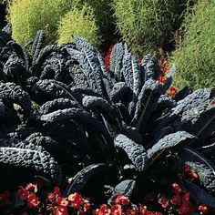 """Kale 'Black Tuscany'  Brassica oleracea (Acephala Group), Kale 'Nero di Toscana'  HardyAnnual  The fully grown plants of Kale Black Tuscany have attractive dark green, deeply savoyed, strap-like leaves. Excellent winter hardiness makes kale a useful winter to spring vegetable at a time when fresh garden produce is scarce. Kale 'Black Tuscany' can also be used as a baby salad leaf ingredient adding texture and a peppery taste to mixed salads. Height: 90cm (60""""). Spread: 60cm (24"""")."""
