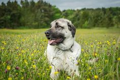 Anatolian shepherds are an invaluable addition to your homestead if you want to protect your home or flock. Anatolian Shepherd Puppies, Shepherd Dog, Kangal Dog, Puppy Socialization, Dog List, Dog Activities, Livestock, Large Dogs, Dog Friends