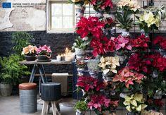 Le Poinsettia, A Chaque Mois Sa Plante novembre