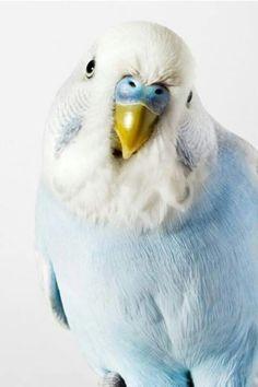 blue budgie or parakeet Pretty Birds, Beautiful Birds, Animals Beautiful, Cute Animals, Beautiful Series, Pretty Baby, Beautiful Things, Blue Budgie, Blue Parakeet
